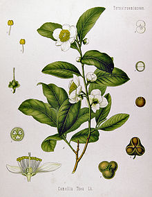 picture of Camellia Sinensis plant